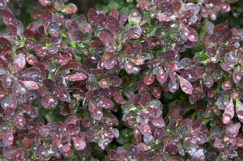 Water Droplets on Leaves of Barberry Plant