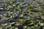 Water Lilies with Green and Purple Leaves