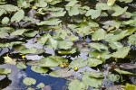 Water Lilies with Green Leaves and Yellow Flower Buds
