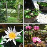 Water Lilies photographs