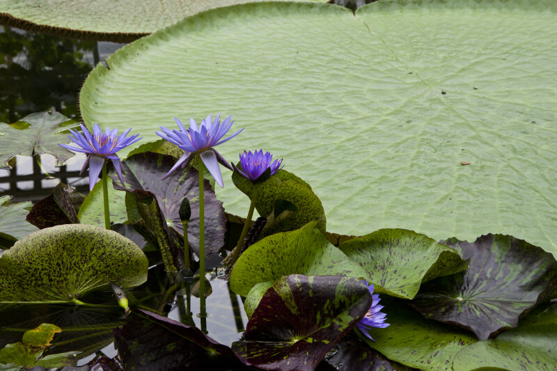 Water Lily Hybrid