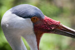 Wattled Crane Red, Bumpy Skin
