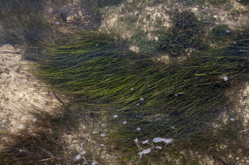Wavy, Aquatic Grass