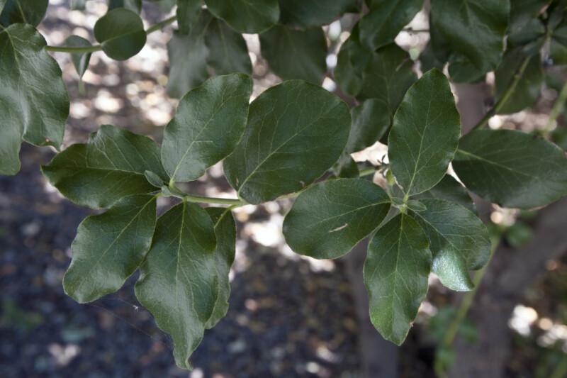 Waxy Leaves of an Evie's Silk-Tassel Bush