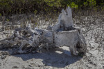 Weathered, Dead Tree Trunk Amongst Black Mangrove Roots