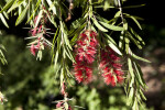 Weeping Bottlebrush Branches