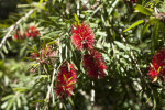 Weeping Bottlebrush Flowers