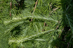 Weeping European Larch Leaves