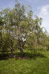 Weeping Higan Cherry Tree