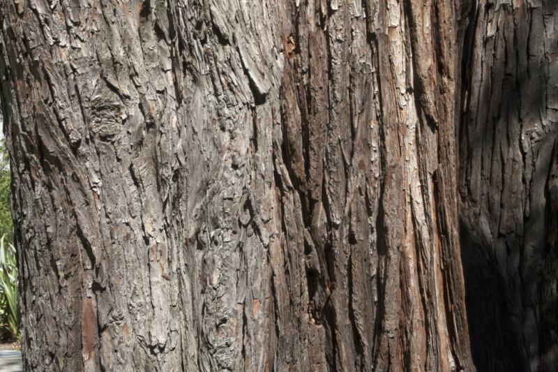 "Weeping Lawson Cypress (Chamaecyparis lawsoniana ""Pendula"") Bark"