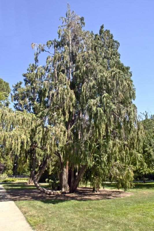 """Weeping Lawson Cypress (Chamaecyparis lawsoniana """"Pendula"""") Tree"""