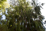 Weeping Rimu Branches