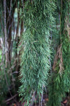 Weeping Sequoia Branch