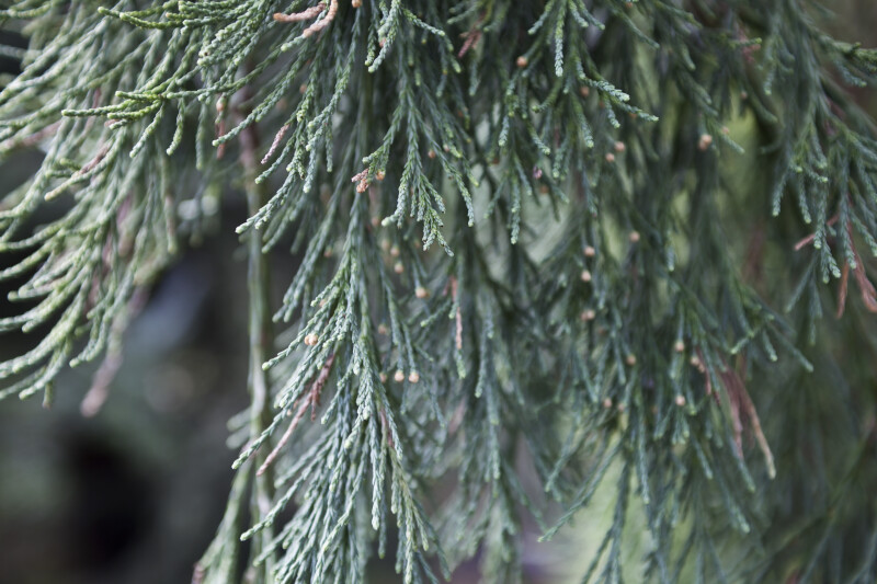Weeping Sequoia Leaves Close-Up
