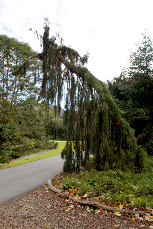 Weeping Sequoia Tree
