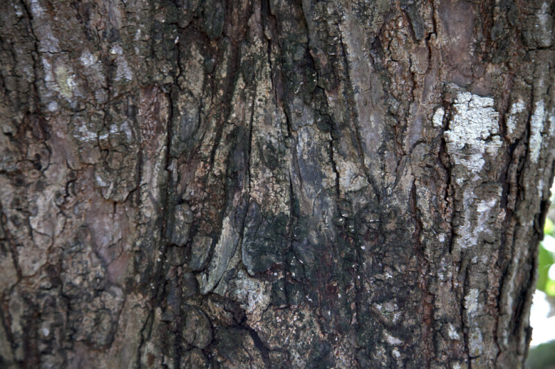 West Indian Mahogany Bark with Black, Brown, and White Hues