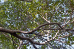 West Indian Mahogany (Swietenia mahagoni) Branches form Canopy of Hammock