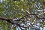 West Indian Mahogany (Swietenia mahagoni) Branches form Canopy of Hammock