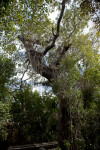 West Indian Mahogany Tree at Mahogany Hammock of Everglades National Park