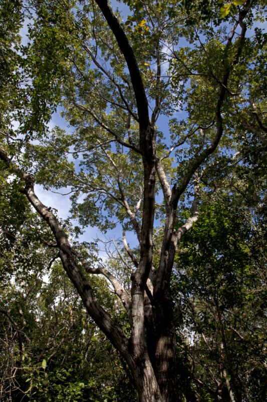 West Indian Mahogany Tree at Windley Key Fossil Reef Geological State Park