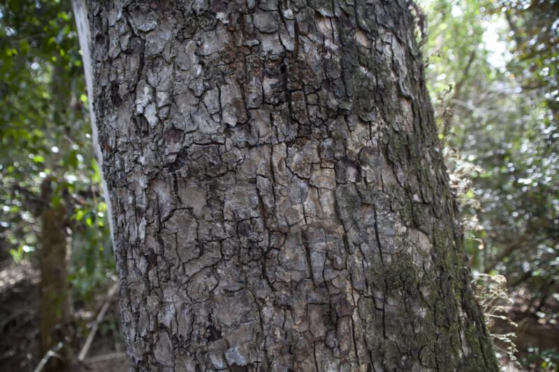West Indian Mahogany Tree Trunk