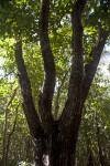 West Indian Mahogany Tree with Four Main Branches