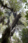 West Indian Mahogany Tree with Wild Pines