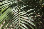 Westerhout's Sugar Palm Frond