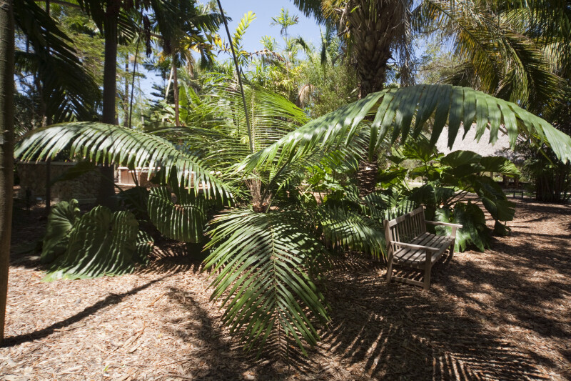 Westerhout's Sugar Palm Near a Bench