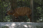 Western Bongo Standing near Fence