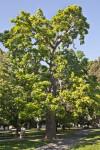 Western Catalpa Tree at Capitol Park in Sacramento