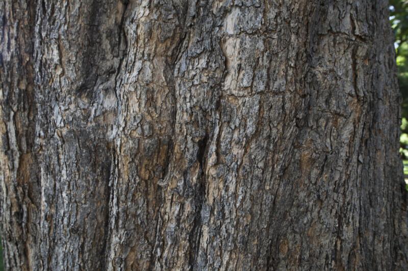 Western Catalpa Tree Bark
