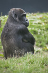 Western Lowland Gorilla Sitting in Grass  at the Artis Royal Zoo