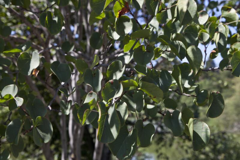 Western Redbud Leaves