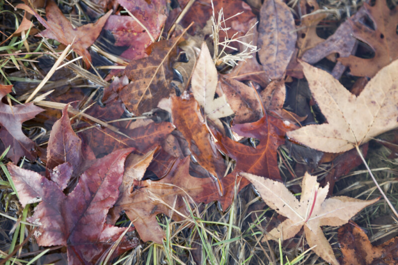 Wet, Fallen Leaves
