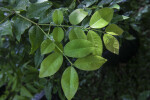 Wet Jabuticaba Leaves