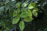 Wet Jabuticaba Leaves