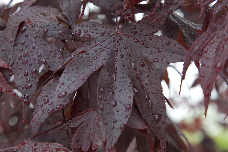 Wet Oriental Maple Leaves