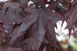 Wet Oriental Maple Leaves