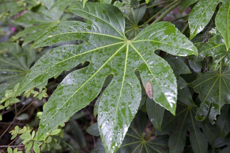 Wet, Palmate Japanese Aralia Leaf