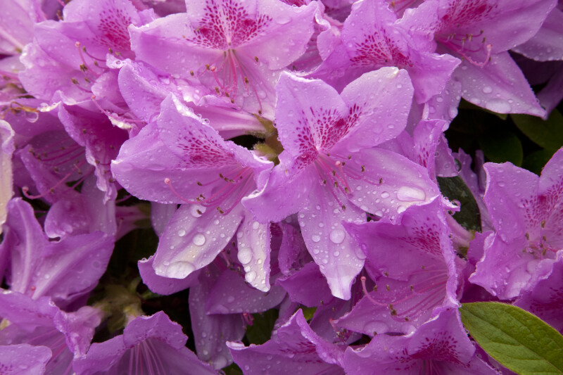Wet, Pink Azalea Flowers in Monroeville