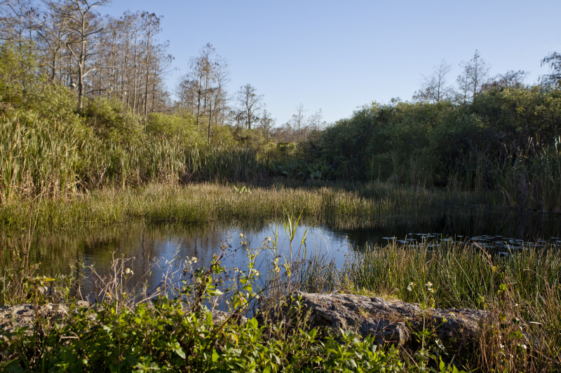 Wetland at the Big Cypress National Preserve