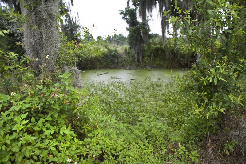 Wetland plant life thriving at Circle B Bar Reserve