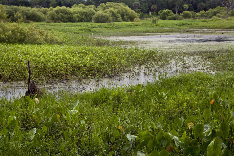 Wetland plant life thriving at Circle B Bar Reserve