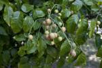 Whampi Berries