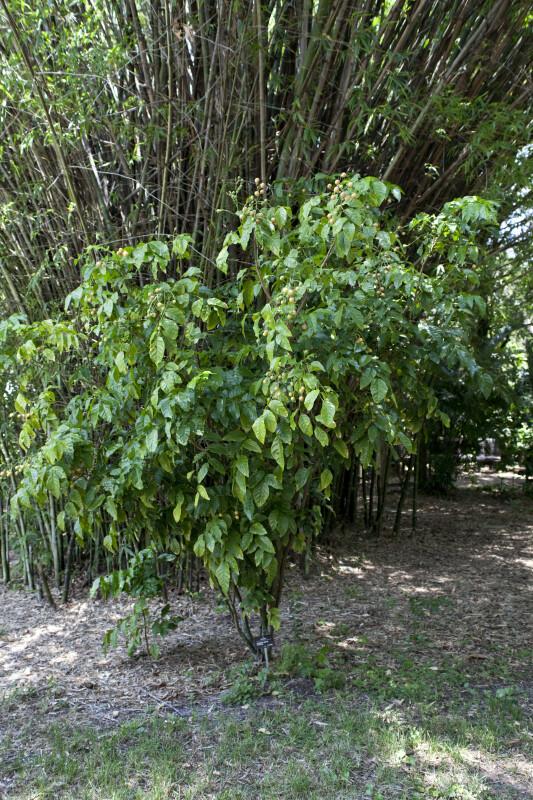 Whampi Plant