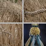 Wheat photographs