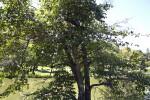White Alder Tree at the UC Davis Arboretum