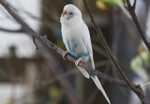 White-and-Blue Budgie