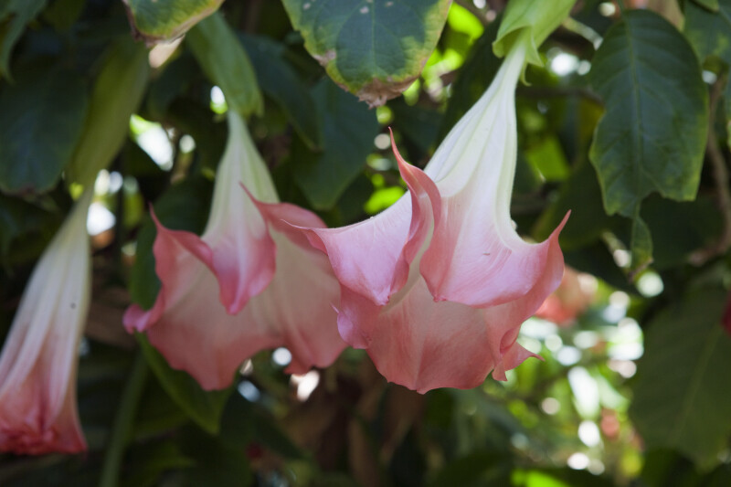 White and Pink Angel's Trumpet Flower